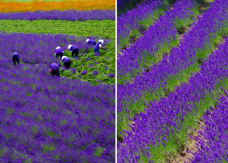 July 27th, 2015Tags:farm,flowerfield,flowerfields,france,harvest,lavenderLavender fields are stunning when they are in full bloom, beautiful purple landscapes with a distinctive ...